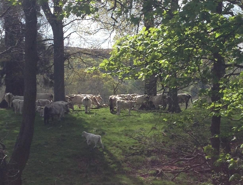 Chillingham wild cattle