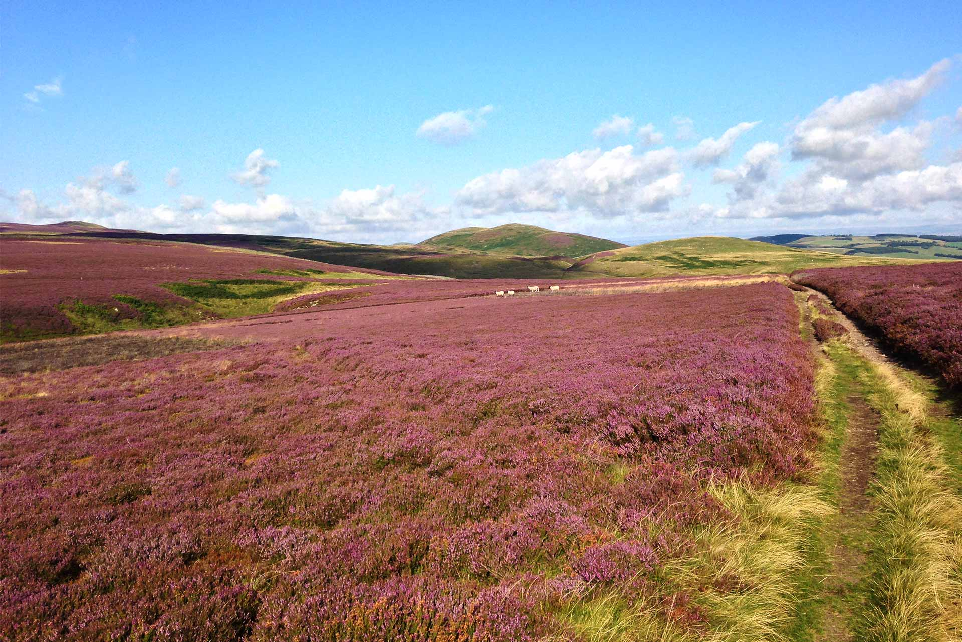 Northumberland heather