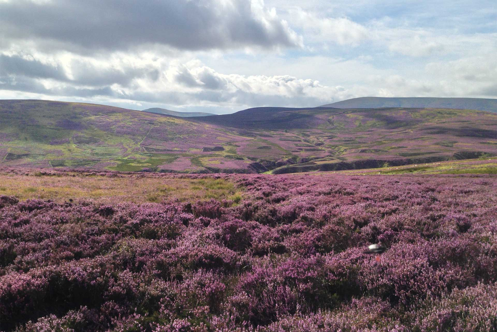Heather with Cheviots backdrop