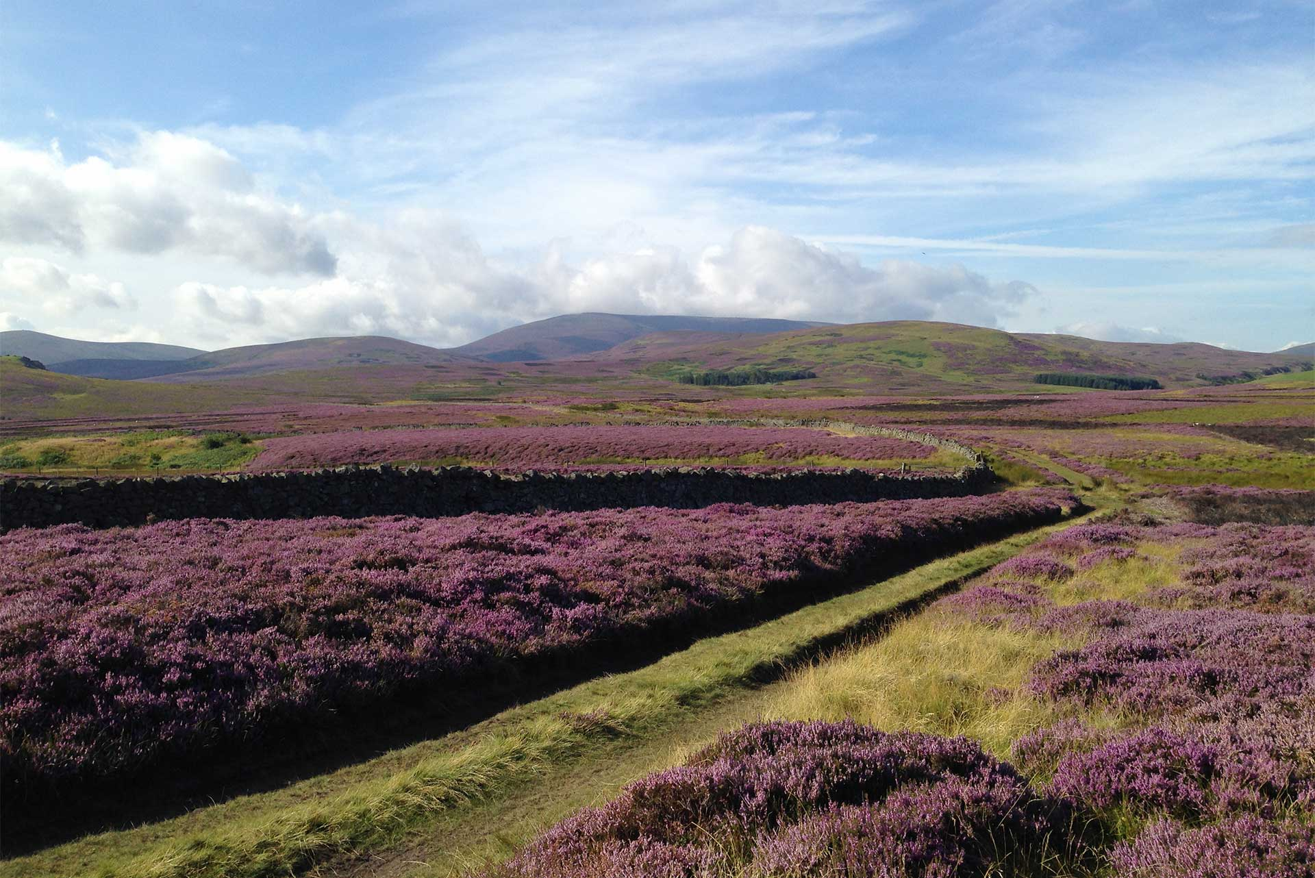 Heather in bloom on hill path