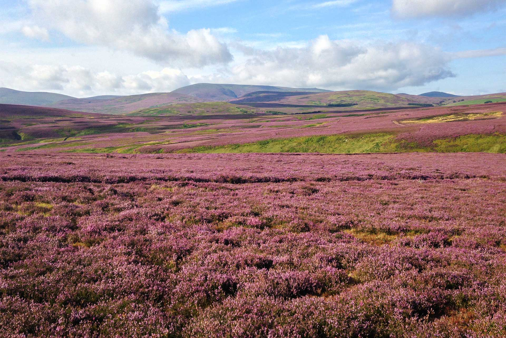 Northumberland heather and hills