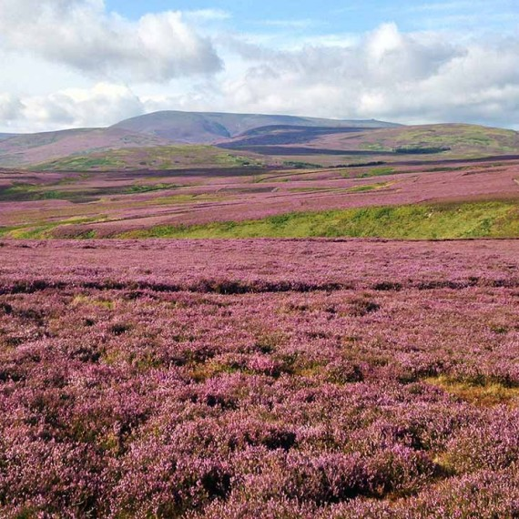 Heather and hills of Northumberland National Park