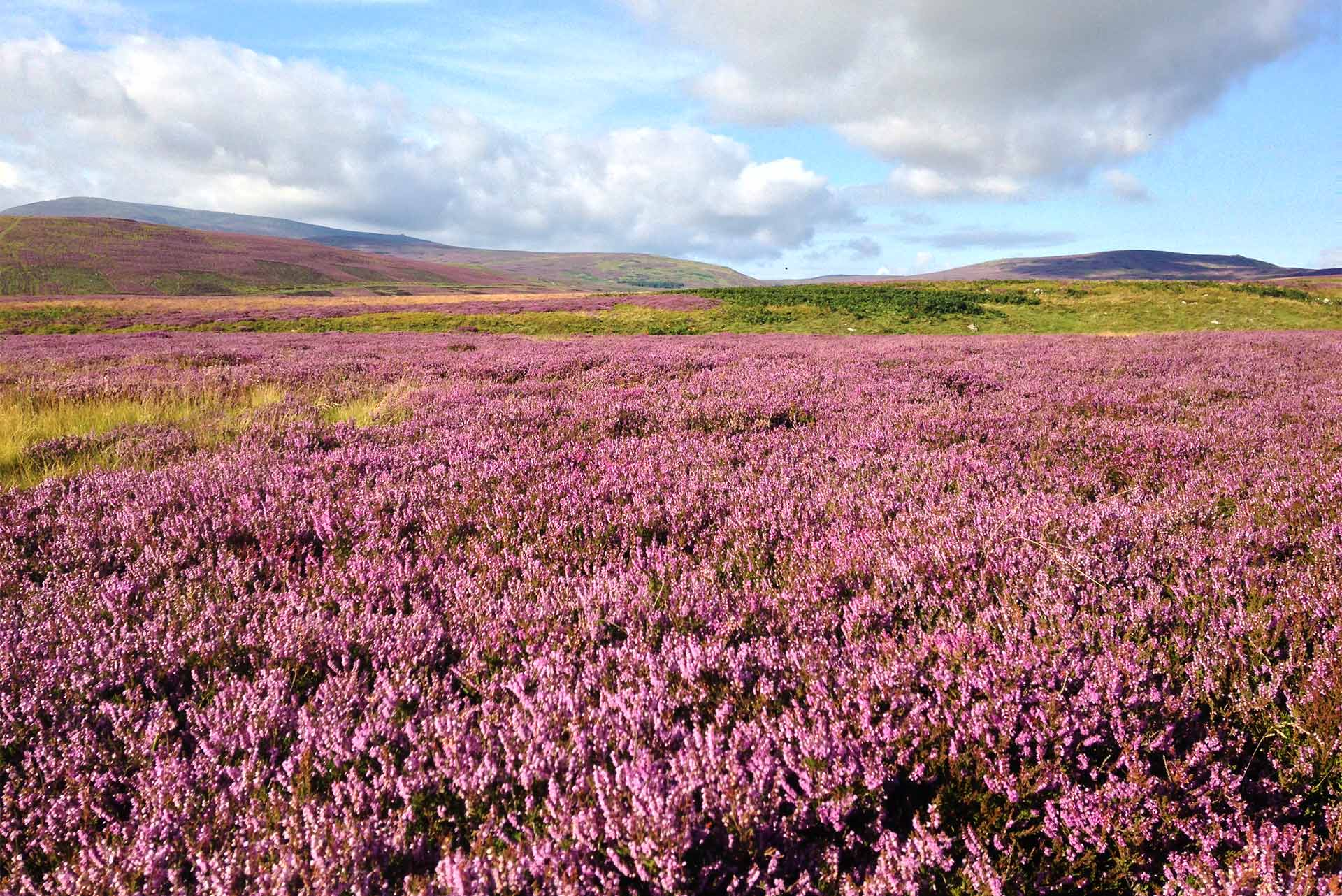 Purple heather Northumerland hills