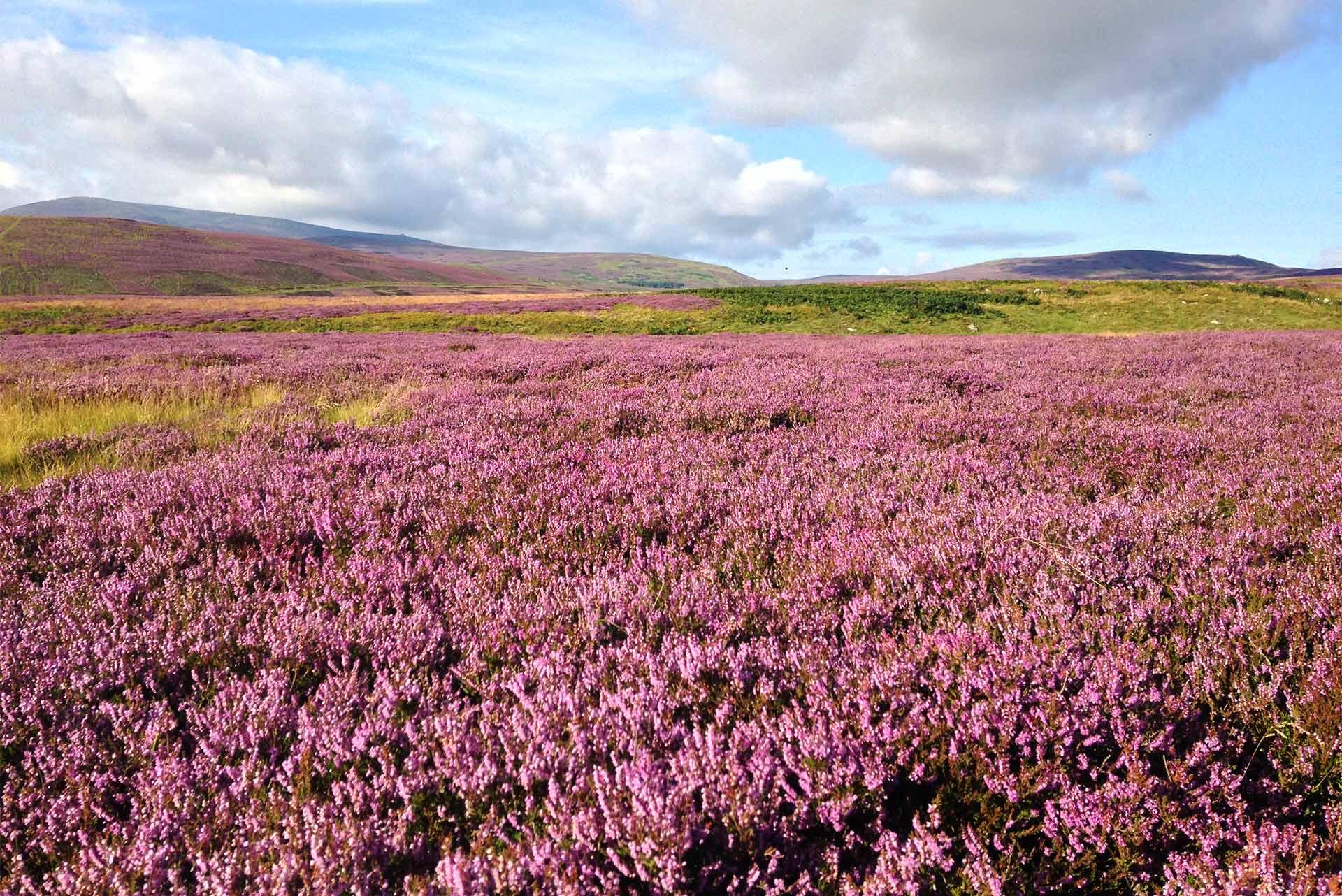 Purple heather Northumerland hills