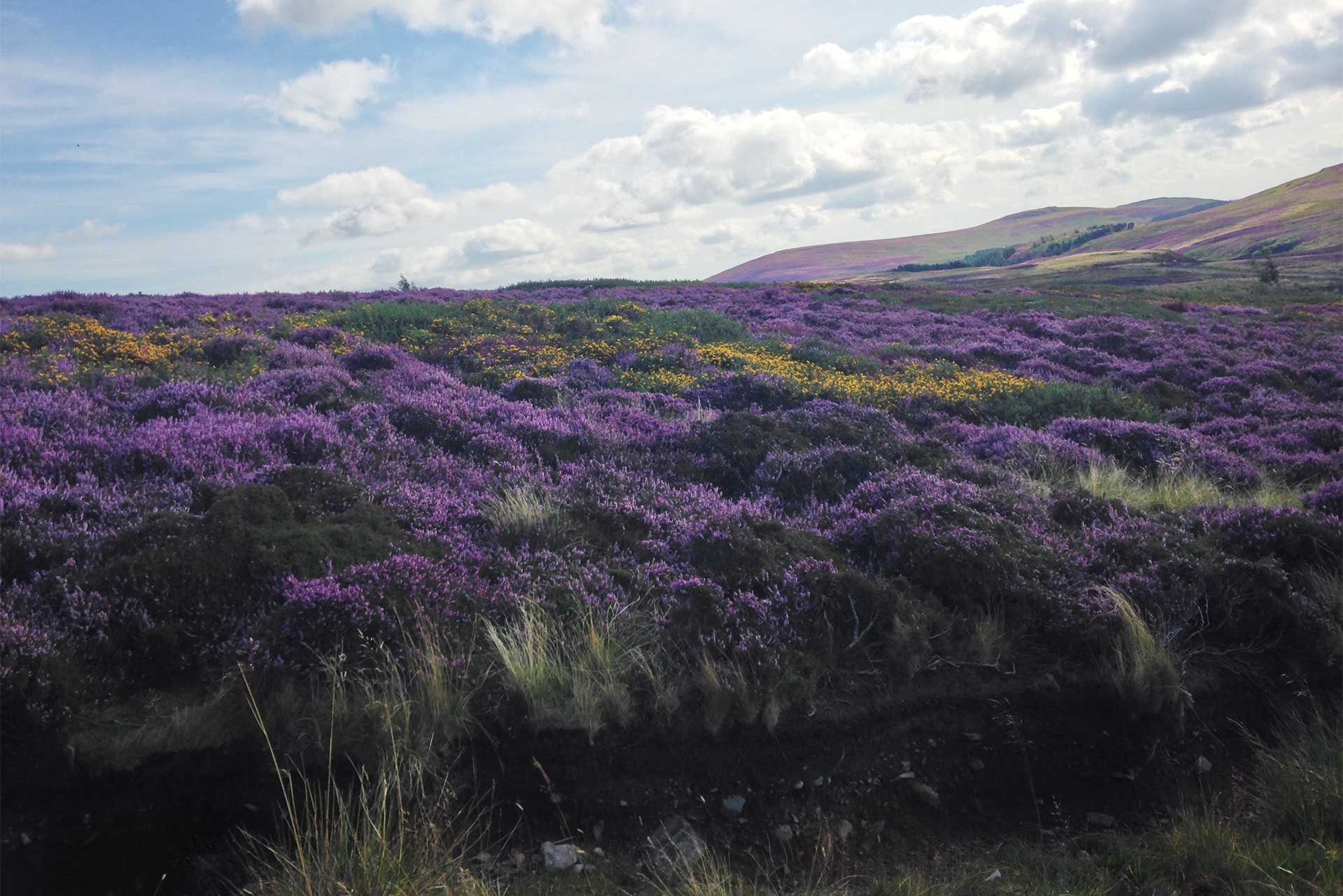 Purple heather + yellow flowers