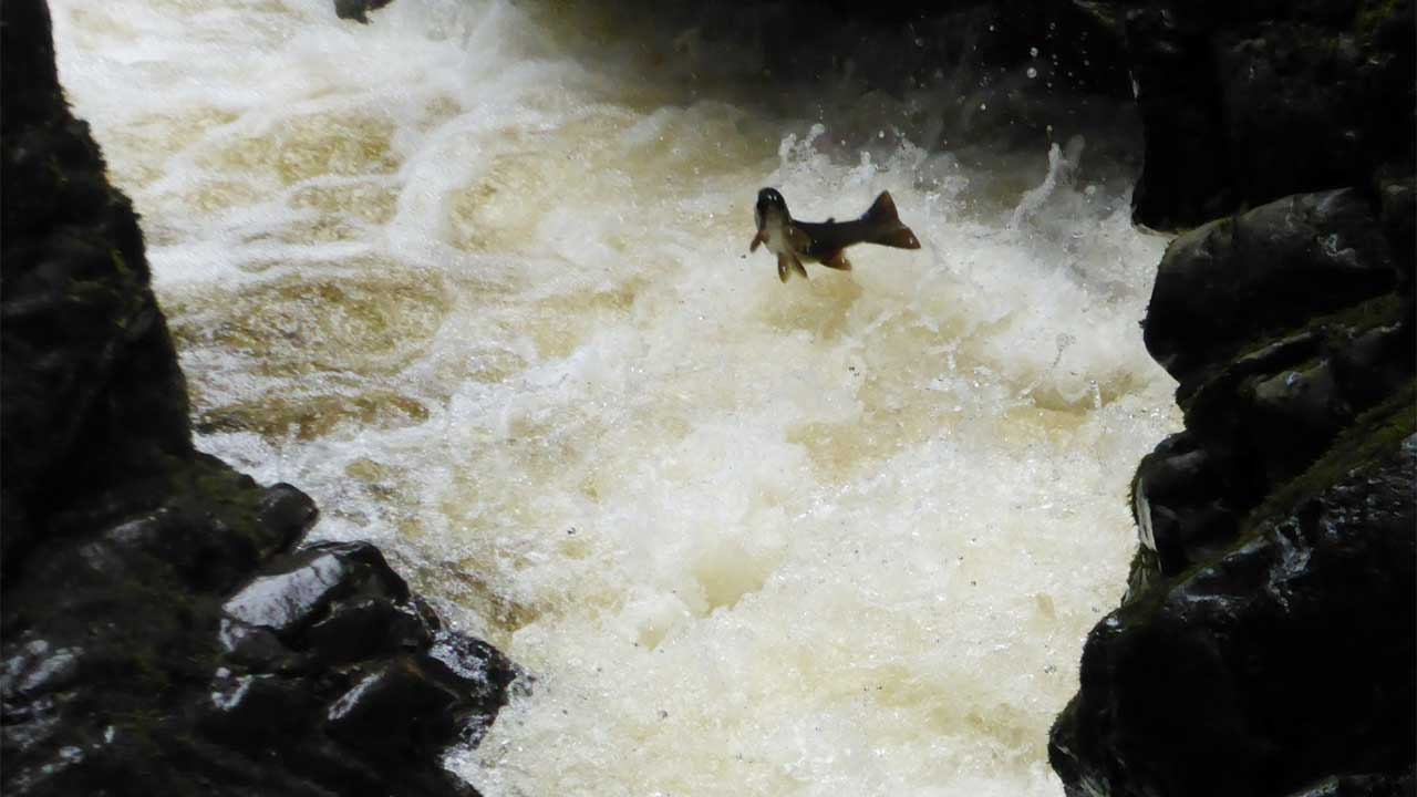 Fish leaping in Hethpool Linn
