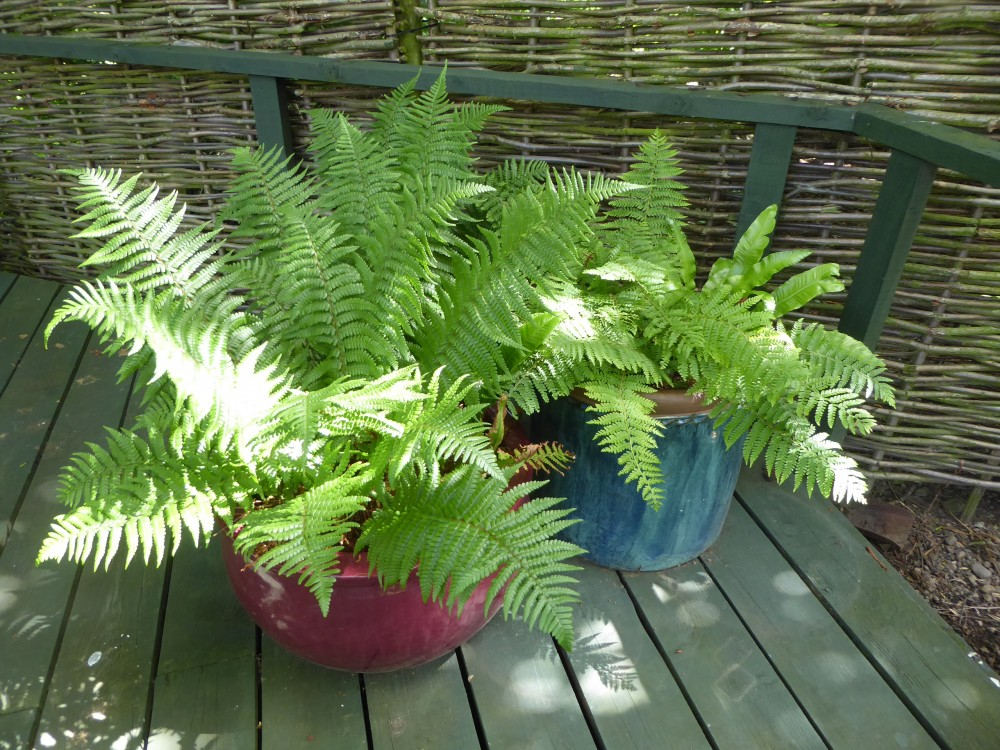 Fresh fern fronds in the dappled shade
