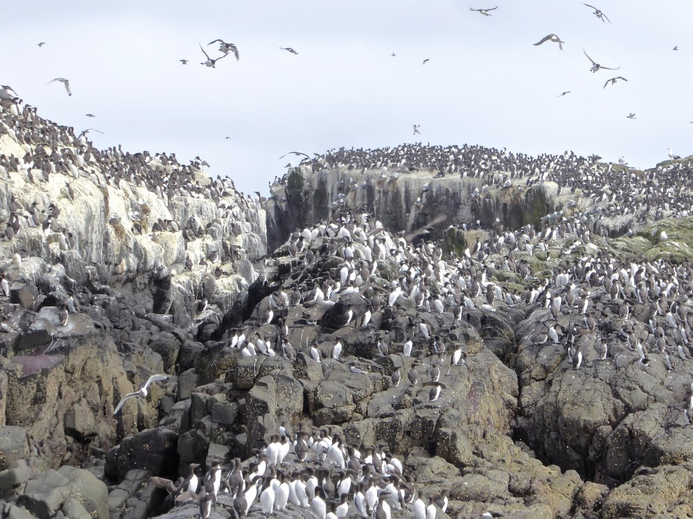 Guillemots by the tens of thousands