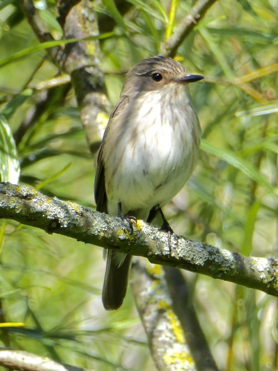 Nesting lesser spotted flycatchers